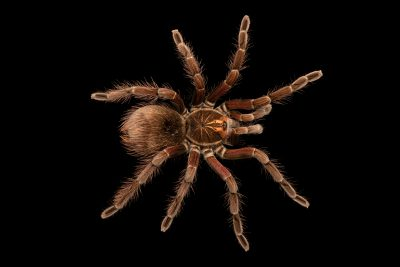 Photo: Redbloom tarantula (Pamphobeteus vespertinus) at the Toronto Zoo.