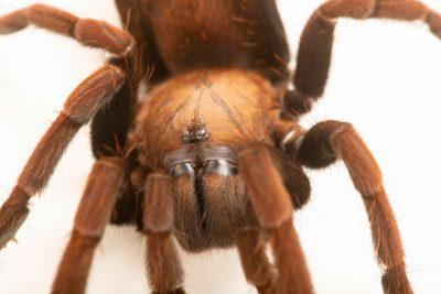 Photo: Karwar large burrowing spider (Thrigmopoeus truculentus) at the Toronto Zoo.