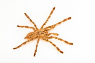 Photo: A critically endangered Rameshwaram ornamental spider (Poecilotheria hanumavilasumica) at the Toronto Zoo.