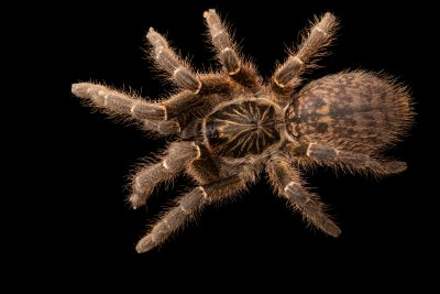 Photo: Tarantula (Citharacanthus meermani) at the Toronto Zoo.