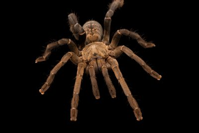 Photo: A Vietnamese tiger tarantula (Cyriopagopus longipes) from the wild in Cambodia.