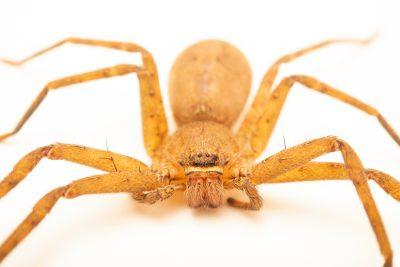 Photo: Huntsman spider (Heteropoda venatoria) at the Angkor Centre for Conservation of Biodiversity (ACCB) in Siem Reap, Cambodia.
