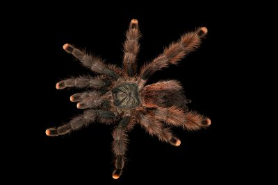 Photo: Goliath pink-toe tarantula (Avicularia braunshauseni) at the Woodland Park Zoo.