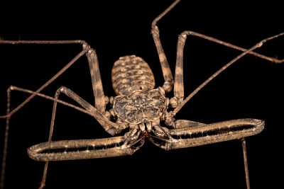 Photo: A Tanzanian whip scorpion (Damon variegatus) at the Moscow Zoo.
