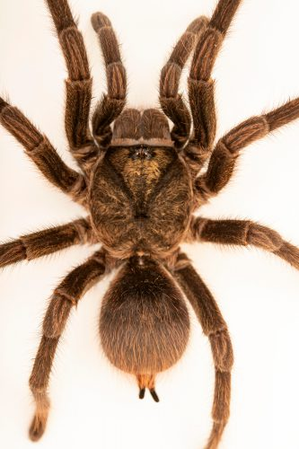 Photo: A Cuban bronze tarantula (Phormictopus auratus) at the Moscow Zoo.