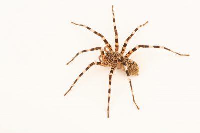 Photo: An ornamental wandering spider (Viridasius fasciatus) at the Moscow Zoo.