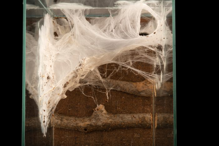A web nest made by a Pink Toe Tarantula (Caribena versicolor) at the Moscow Zoo.
