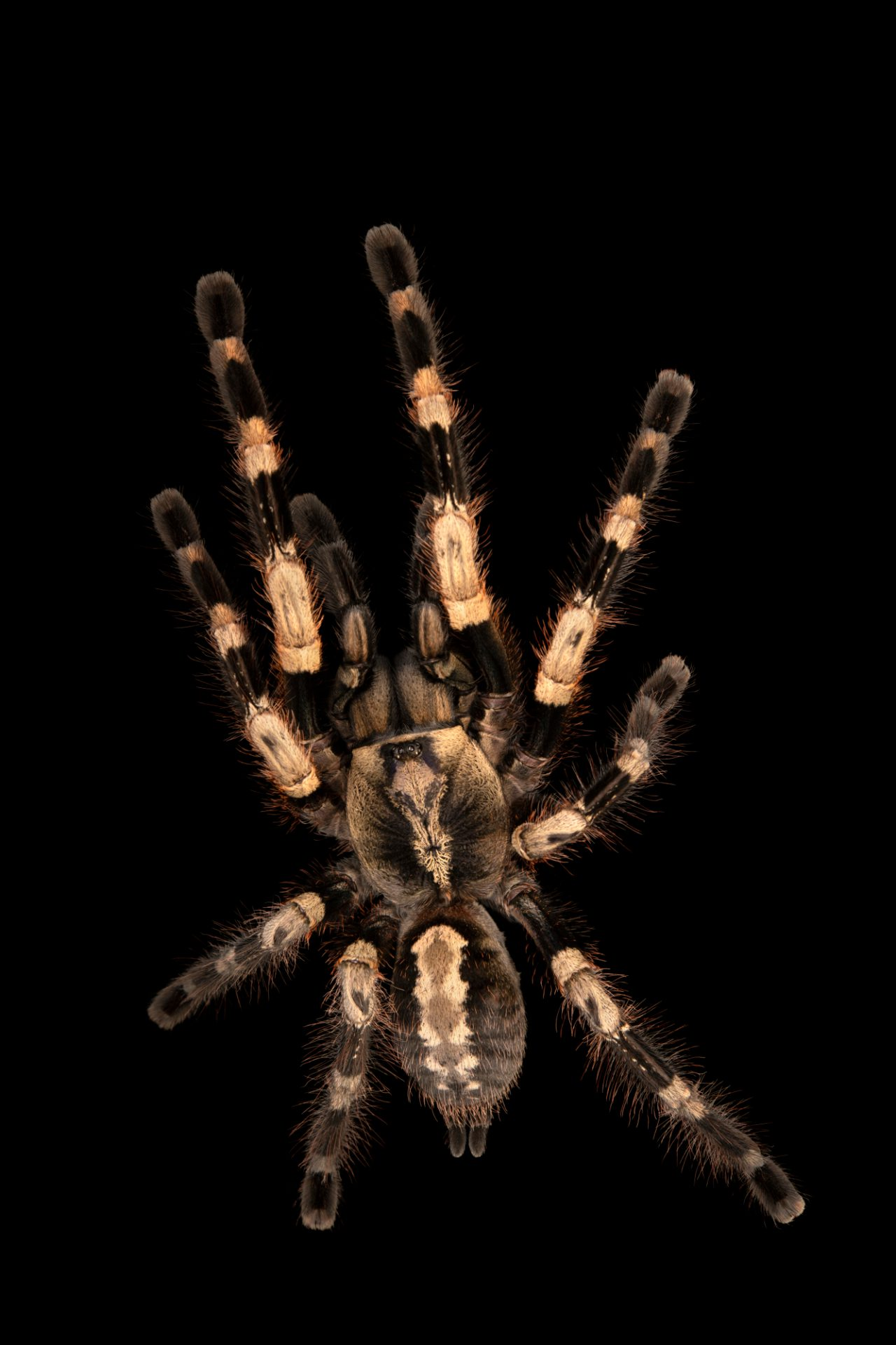 Photo: An endangered Bengal ornamental (Poecilotheria miranda) at the Moscow Zoo.