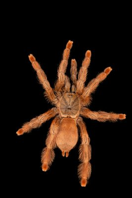 Photo: Orange chevron tarantula (Tapinauchenius gigas) at the Moscow Zoo.