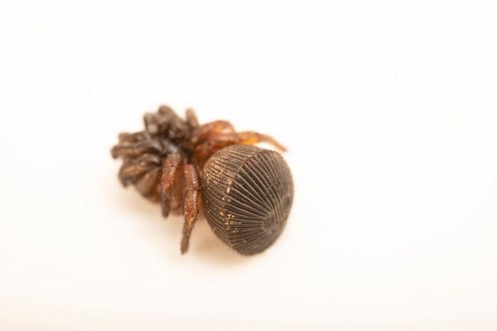 Photo: A ravine trapdoor spider (Cyclocosmia truncata) at the Auburn University Natural History Museum.