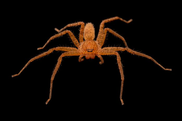 Photo: A wild caught unidentified huntsman spider from Mt. Makiling forest in Luzon, Philippines.