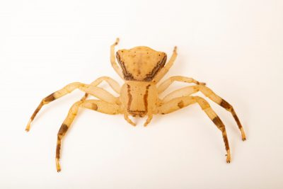 Photo: A wild caught unidentified crab spider from Mt. Makiling forest in Luzon, Philippines.