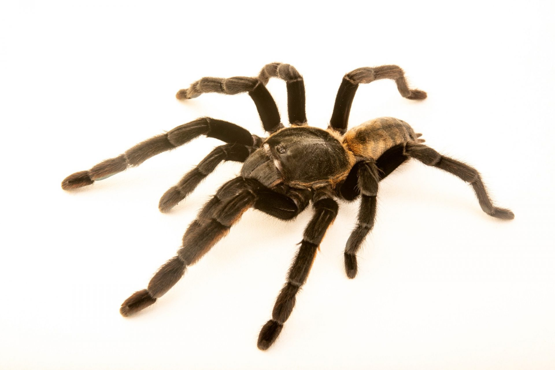 Photo: An unidentified tarantula, Ornithoctonus sp. (undescribed species collected from Surat Thani location) from a private collection.