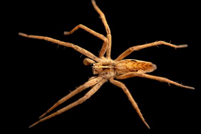 Photo: A nursery web spider (Pisaura mirabilis) at the Biodiversity Hall of Natural History and Science Museum.