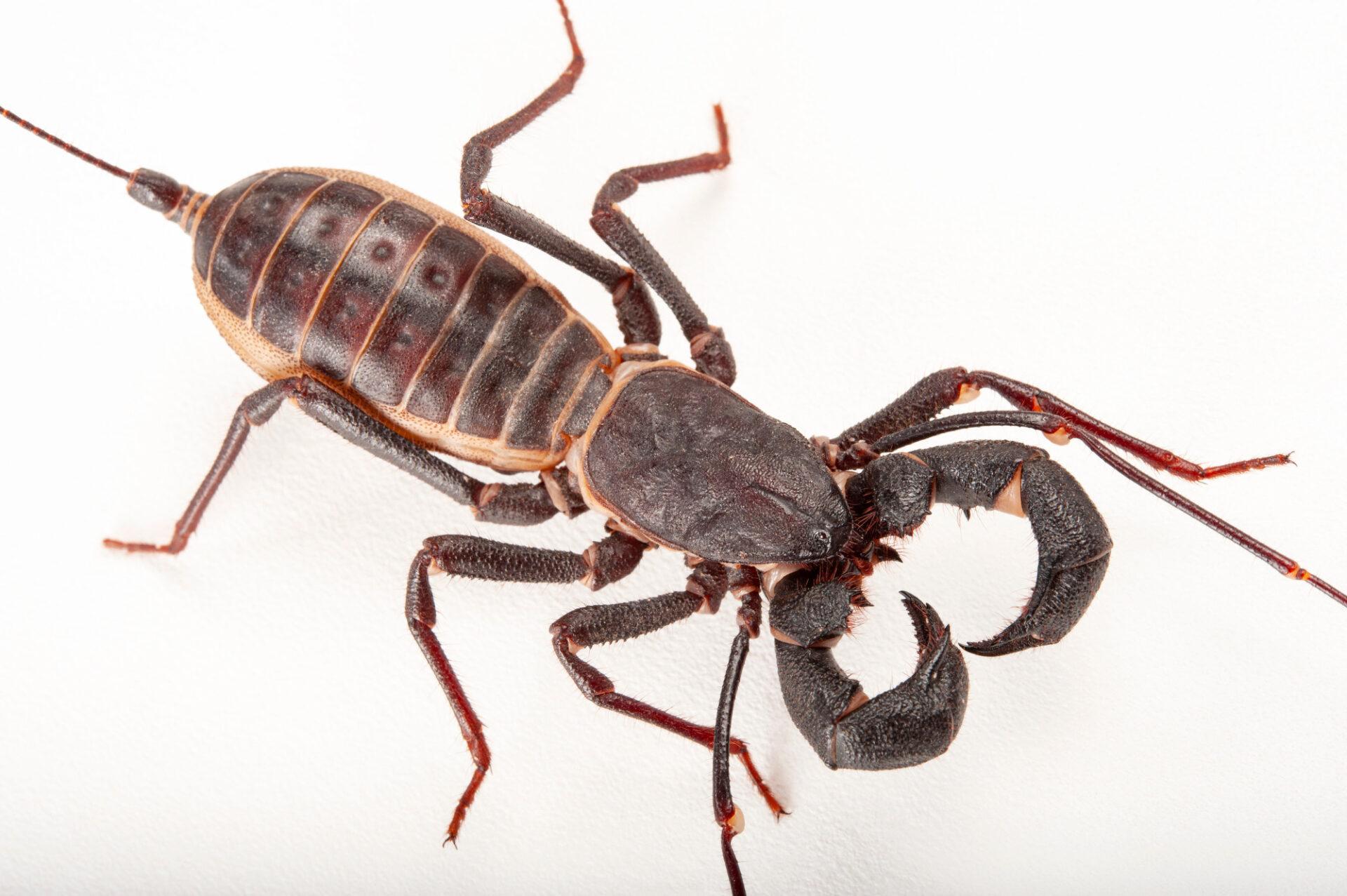 Photo: Whip scorpion (Mastigoproctus giganteus) at the Insectarium in New Orleans.