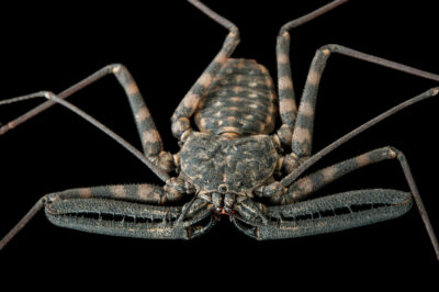 Photo: A giant tailless whip scorpion (Damon variegatus) at the Insectarium in New Orleans.