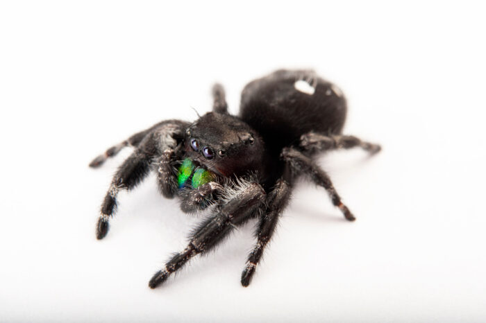 Photo: Daring jumping spider (Phidippus audax) at the Insectarium in New Orleans.