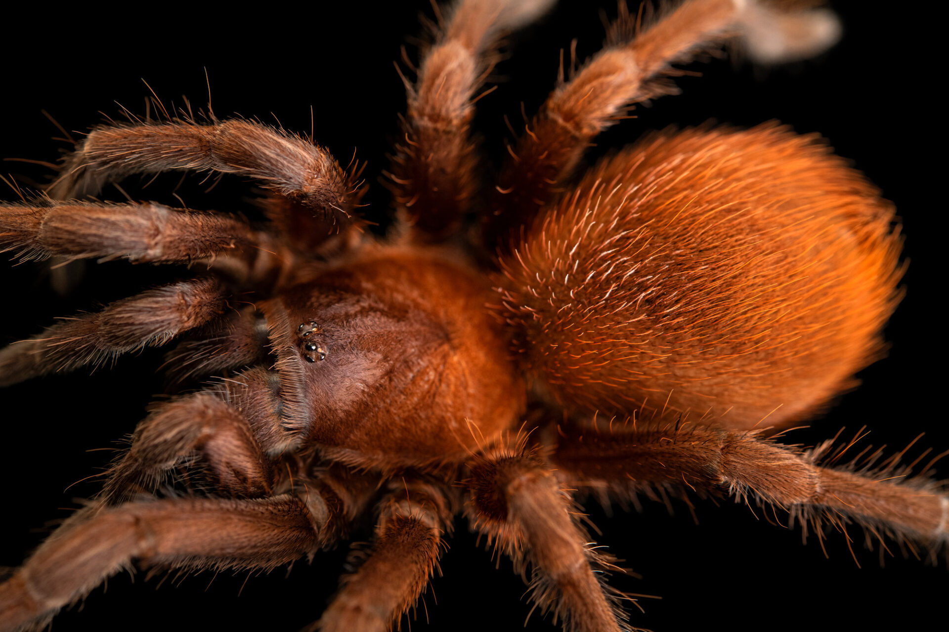 Photo: A tarantula (Citharacanthus cyaneus) from a private collection.
