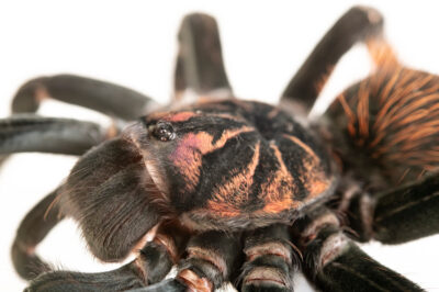Photo: An Amazon blue bloom tarantula (Xenesthis intermedia) from a private collection.