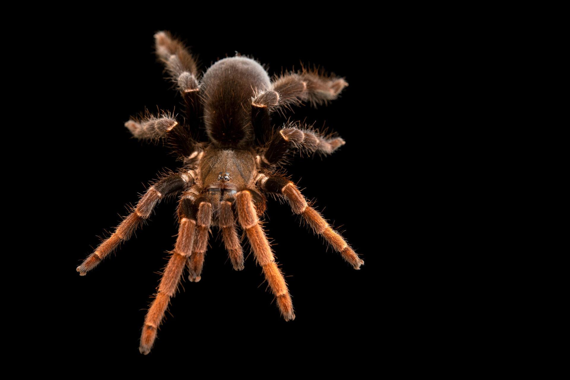 Photo: A tarantula (Lyrognathus giannisposatoi) from a private collection.