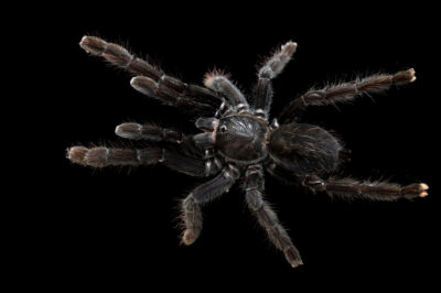 Photo: A female Sangihe black tarantula (Lampropelma nigerrimum) from a private collection.