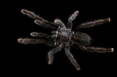 Photo: A female Sangihe black tarantula (Lampropelma nigerrimum) from a private collection.