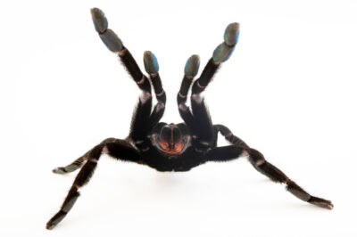 Photo: A female Sangihe black (Lampropelma nigerrimum) from a private collection.
