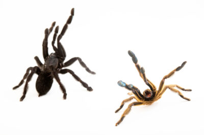 Photo: A female and male Sangihe black (Lampropelma nigerrimum) from a private collection.