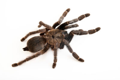 Photo: A Costa Rican chevron tarantula (Psalmopoeus reduncus) from a private collection.