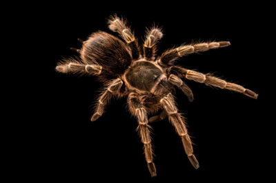 Photo: A tarantula (Pseudhapalopus spinulopalpus) from a private collection.