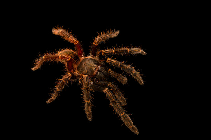 Photo: A tarantula (Ephebopus fossor) from a private collection.