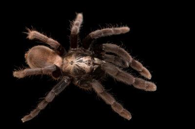 Photo: An Indian tarantula (Haploclastus kayi) from a private collection.