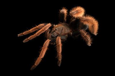 Photo: A tarantula (Coremiocnemis hoggi) from a private collection.