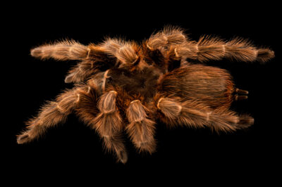 Photo: An Argentina giant black rump (Acanthoscurria sternalis) from a private collection.