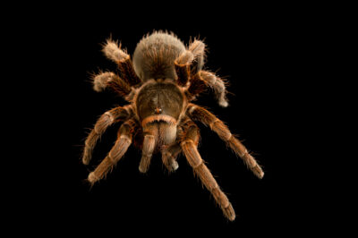 Photo: A rusty brown birdeater tarantula (Acanthoscurria suina) from the private collection.
