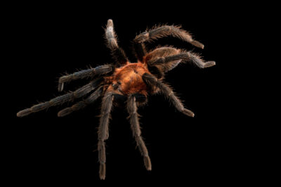 Photo: A Trinidad pink dwarf tarantula (Holothele sanguiniceps) from a private collection.