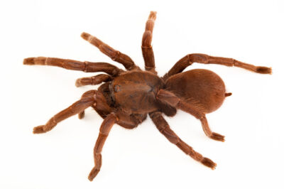 Photo: A Java yellow kneed tarantula (Selenocosmia javanensis) from a private collection.