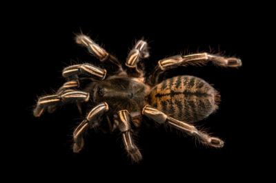 Photo: A Thailand zebra leg tarantula (Haplopelma albostriatum) from a private collection.