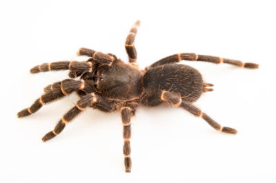Photo: A tarantula (Selenocosmia kovariki) from a private collection.