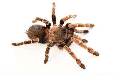 Photo: A Brazilian brown birdeater tarantula ( Vitalius paranaensis) from a private collection.