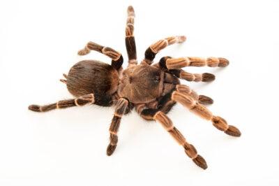 Photo: A Brazilian brown birdeater tarantula ( Vitalius paranaensis) from a private collection.