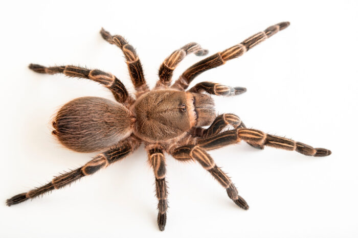 Photo: A tarantula (Cyrtopholis flavostriatus) from a private collection.