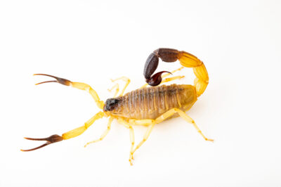 Photo: A scorpion (Hottentotta salei) at Safari Park Dvur Kralove.