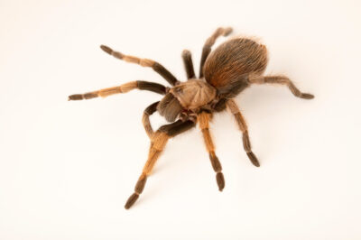 Photo: A Payson blonde tarantula (Aphonopelma paysoni) at the Butterfly Pavilion.