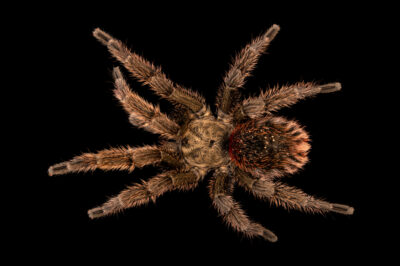 Photo: A Chilean beautiful tarantula (Euathlus truculentus,) at the Butterfly Pavilion.