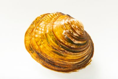 Photo: Texas pimpleback mussel (Cyclonaias petrina) from the Crustacean and Molluskan Ecology Lab at Auburn University.