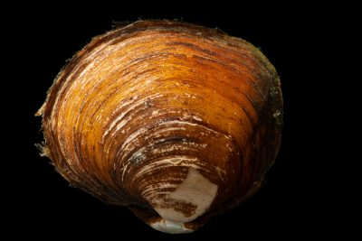 Photo: Smooth pimpleback (Cyclonaias houstonensis) from the Crustacean and Molluskan Ecology Lab at Auburn University.