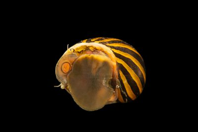 Photo: Tiger nerite snail (Neritina natalensis) at Kansas University.