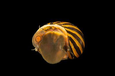 Photo: Tiger nerite snail (Neritina natalensis) at Kansas University.