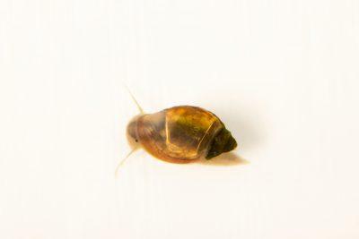 Photo: Bladder snail (Physa acuta) at Kansas University.